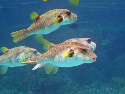 河豚一生能鼓多少次气 气泡鱼河豚鱼为什么会鼓起来