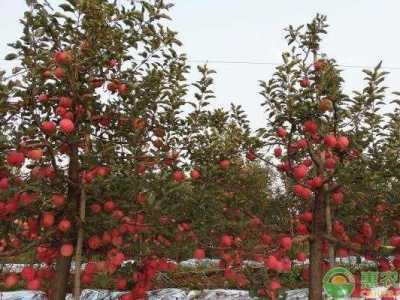 果期长的水果 苹果果实膨大期如何施肥